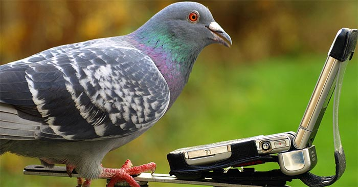 A carrier pigeon listens to a mobile phone, waiting to hear its next assignment